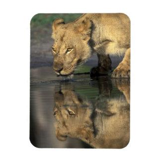 Botswana, Moremi Game Reserve, Lioness (Panthera Rectangular Photo Magnet