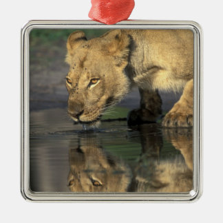 Botswana, Moremi Game Reserve, Lioness (Panthera Silver-Colored Square Decoration