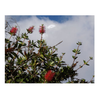 Bottlebrush Tree in Bloom Postcard