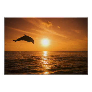 Bottlenose Dolphin jumping 2 Posters