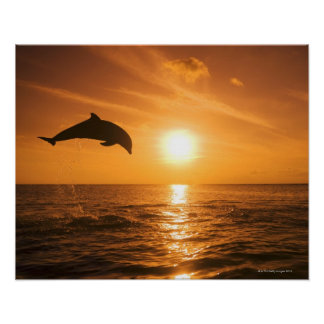 Bottlenose Dolphin jumping Posters