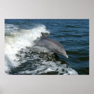 bottlenose dolphin photo poster print