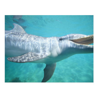 Bottlenose Dolphin Tursiops truncatus), 2 Postcard