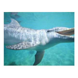 Bottlenose Dolphin Tursiops truncatus), 2 Postcard
