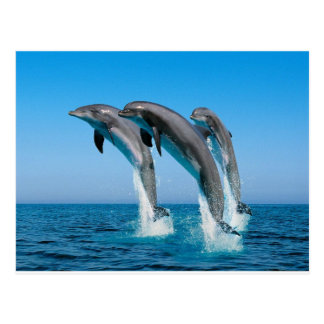 bottlenose dolphins jumping out of clear blue sea postcard