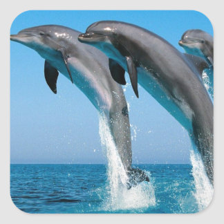 bottlenose dolphins jumping out of clear blue sea square sticker