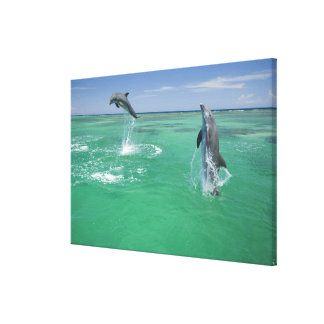 Bottlenose Dolphins Tursiops truncatus) 10 Gallery Wrapped Canvas