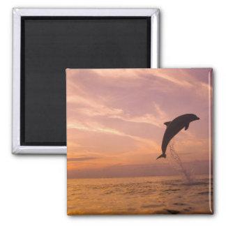 Bottlenose Dolphins Tursiops truncatus) 10 Fridge Magnet