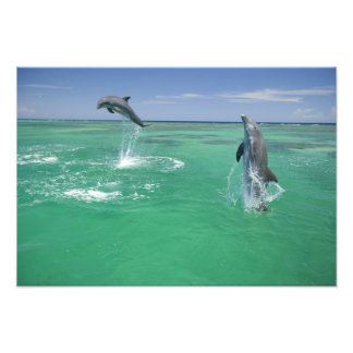 Bottlenose Dolphins Tursiops truncatus) 10 Photo Print