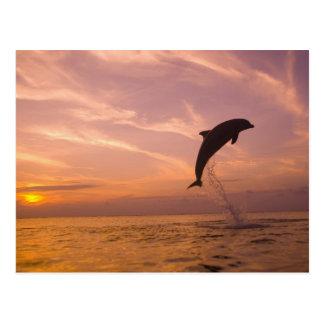 Bottlenose Dolphins Tursiops truncatus) 10 Postcard