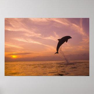 Bottlenose Dolphins Tursiops truncatus) 10 Poster
