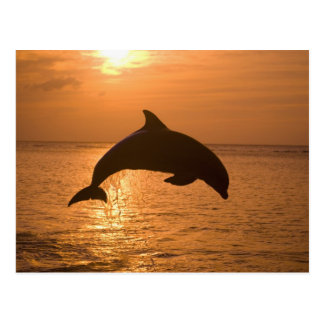 Bottlenose Dolphins Tursiops truncatus) 11 Postcard