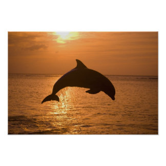 Bottlenose Dolphins Tursiops truncatus) 11 Poster