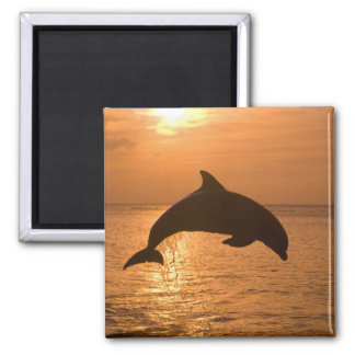 Bottlenose Dolphins Tursiops truncatus) 11 Square Magnet