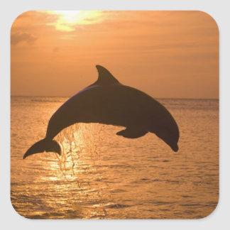 Bottlenose Dolphins Tursiops truncatus) 11 Square Sticker