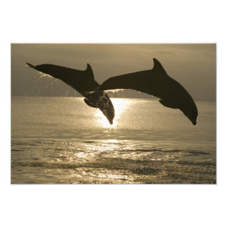 Bottlenose Dolphins Tursiops truncatus) 12 Photo Print