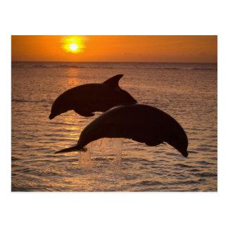 Bottlenose Dolphins Tursiops truncatus) 12 Postcard