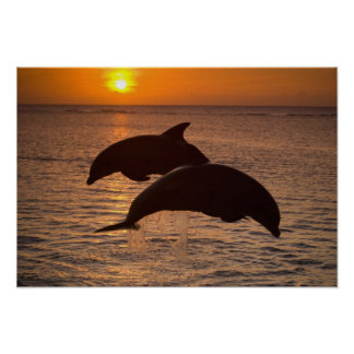 Bottlenose Dolphins Tursiops truncatus) 12 Poster