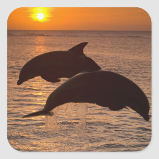 Bottlenose Dolphins Tursiops truncatus) 12 Square Stickers