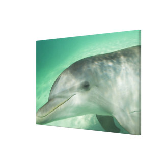 Bottlenose Dolphins Tursiops truncatus) 13 Canvas Print