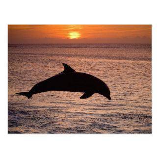 Bottlenose Dolphins Tursiops truncatus) 13 Postcard