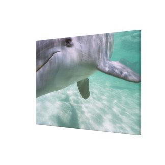 Bottlenose Dolphins Tursiops truncatus) 14 Canvas Print