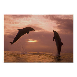 Bottlenose Dolphins Tursiops truncatus) 14 Poster