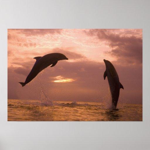 Bottlenose Dolphins Tursiops truncatus) 14 Poster