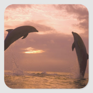 Bottlenose Dolphins Tursiops truncatus) 14 Square Sticker