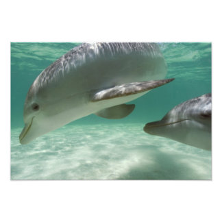 Bottlenose Dolphins Tursiops truncatus) 15 Photo Print