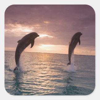 Bottlenose Dolphins Tursiops truncatus) 15 Square Sticker