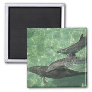 Bottlenose Dolphins Tursiops truncatus) 16 Magnet