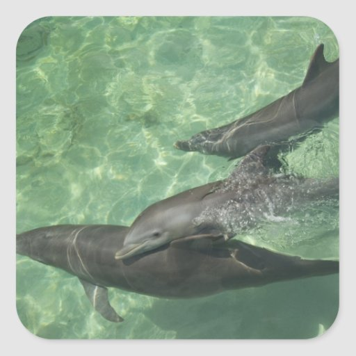 Bottlenose Dolphins Tursiops truncatus) 16 Square Stickers