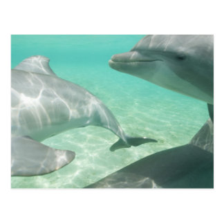 Bottlenose Dolphins Tursiops truncatus) 19 Postcard