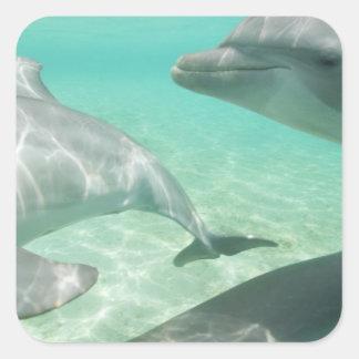 Bottlenose Dolphins Tursiops truncatus) 19 Square Sticker