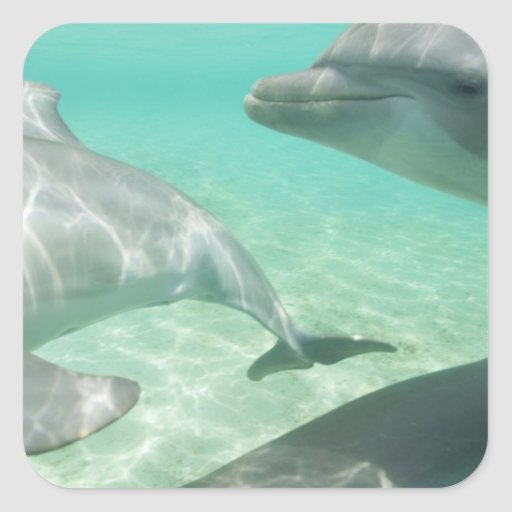 Bottlenose Dolphins Tursiops truncatus) 19 Square Stickers
