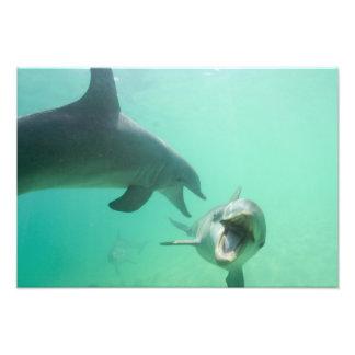 Bottlenose Dolphins Tursiops truncatus) 20 Photo Print