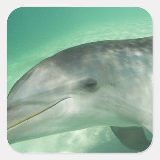 Bottlenose Dolphins Tursiops truncatus) 20 Square Sticker