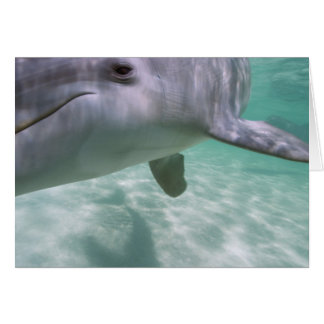 Bottlenose Dolphins Tursiops truncatus) 21 Card