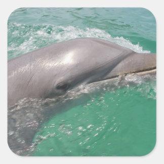 Bottlenose Dolphins Tursiops truncatus) 23 Square Sticker