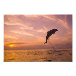 Bottlenose Dolphins Tursiops truncatus) 24 Art Photo