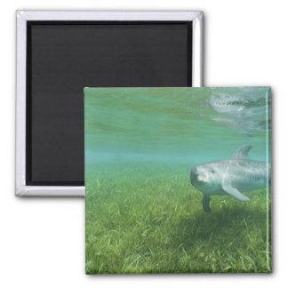 Bottlenose Dolphins Tursiops truncatus) 24 Magnet