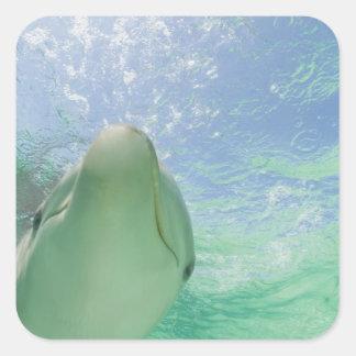 Bottlenose Dolphins Tursiops truncatus) 26 Square Sticker