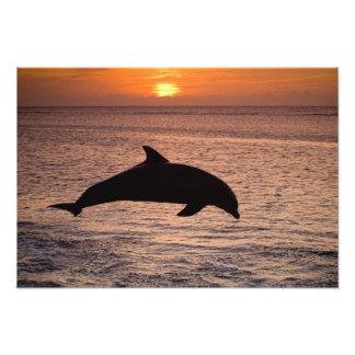 Bottlenose Dolphins Tursiops truncatus) 27 Art Photo