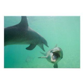 Bottlenose Dolphins Tursiops truncatus) 27 Poster