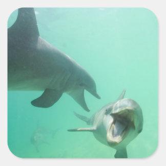 Bottlenose Dolphins Tursiops truncatus) 27 Square Sticker