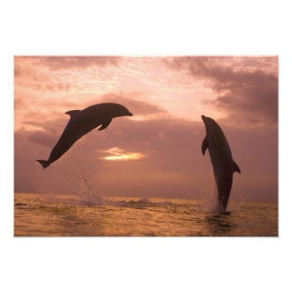 Bottlenose Dolphins Tursiops truncatus) 28 Photo Print