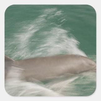 Bottlenose Dolphins Tursiops truncatus) 28 Square Sticker