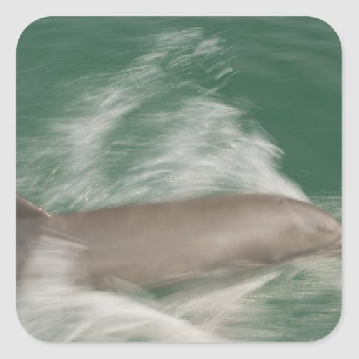 Bottlenose Dolphins Tursiops truncatus) 28 Square Stickers