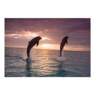 Bottlenose Dolphins Tursiops truncatus) 29 Photo Print